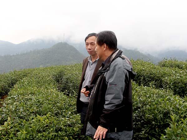 茶叶专家视察公司茶