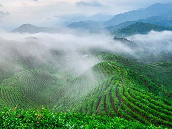 云雾缭绕、生态、有机茶园一角